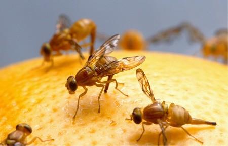 Cómo acabar con las moscas de la fruta