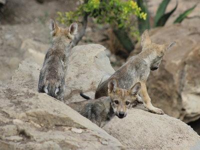 Nace (otra) nueva camada de lobo gris mexicano, una de las especies en peligro de extinción en México