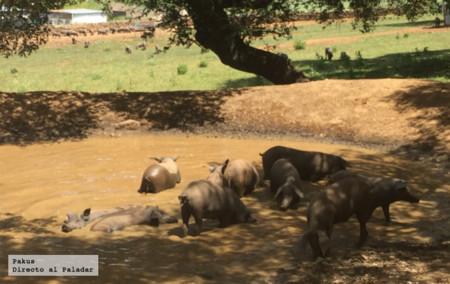 Cerdos Dehesa Bano