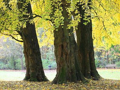 Se secuencia el genoma de la especie de árbol más antigua: ginkgo biloba