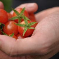 El interesante origen de los jitomates cherry