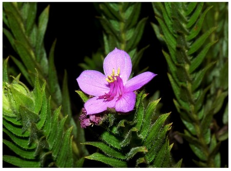 Microlicia Capitata Flower. Imagen de A V Scatigna | California Academy of Sciences.
