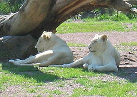 leones albinos o blancos