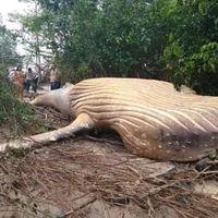 Han encontrado el cadáver de una ballena en pleno Amazonas y nadie sabe muy bien cómo ha llegado allí