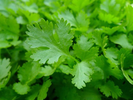 Parsley 741996 1280