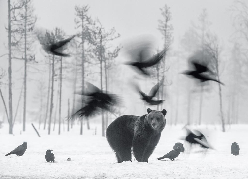 Brown Bear And Ravens De Jari Peltomaki De Oulu Pohjois Pohjanmaa