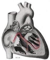 El sistema de conducción cardíaco