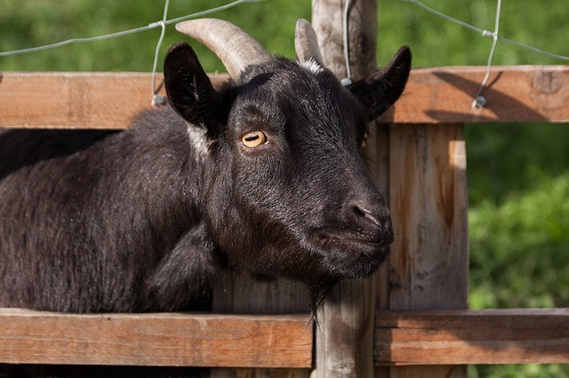 Domestic Goat 207309 640