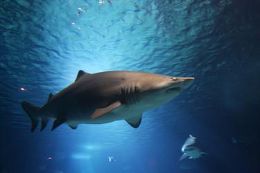 A la hora de comer, nos gustan más los tiburones que nosotros a ellos