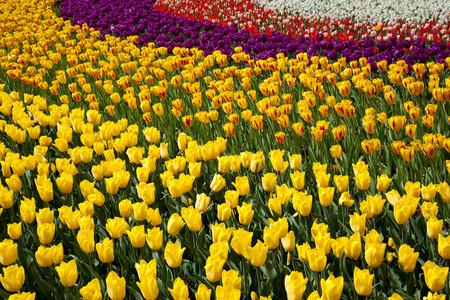 Burbuja Tulipanes Falsa