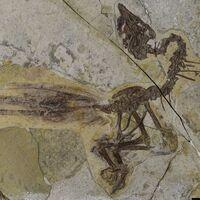 El pavo real prehistórico: se llama Yuanchuavis y cuenta con dos tipos de cola para poder aparearse