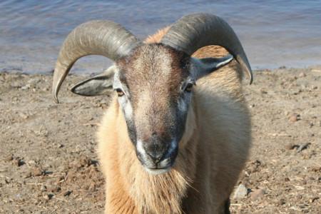 ¿Es posible que en el futuro podamos tener a una cabra como mascota?
