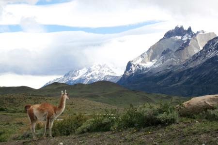 Guanacos Parque Nacional Torres Del Paine Chile