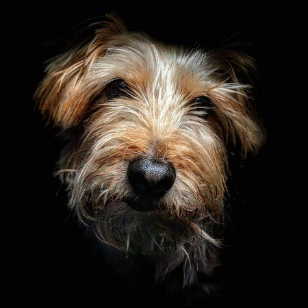 A Runner Up From Pipa In Animals Category Capturing A Yorkshire Terrier By Thefunkylens