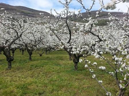 Cherry Trees 735418 640