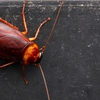 La leche de cucaracha van a convertirse en el nuevo superalimento, según la ciencia