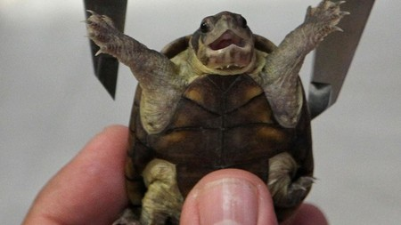 Hallan una nueva tortuga endémica de México, ya está en la lista de especies en peligro de extinción