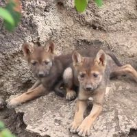 Nacieron tres crías de lobo gris mexicano en Coahuila, y es el mayor hito para su conservación en México en lo que va del año