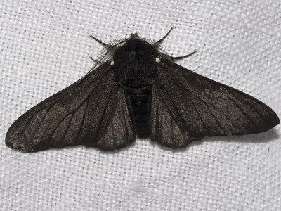 El fin del melanismo industrial en mariposas tras la Revolución Industrial