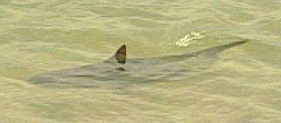 Capturado el tiburón que frecuentaba Tarragona