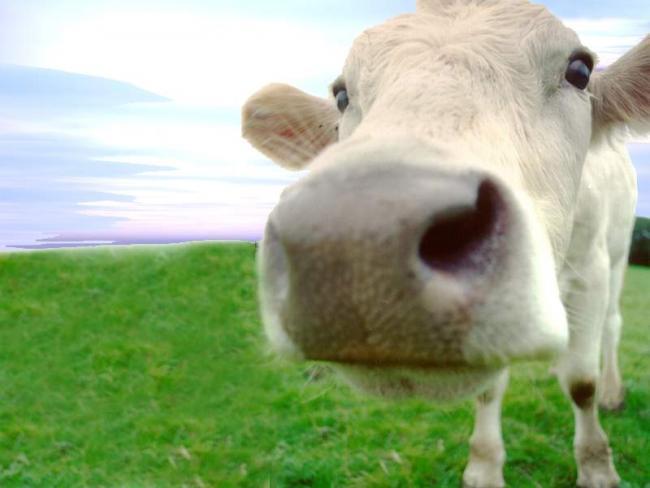 Vaca en primer plano
