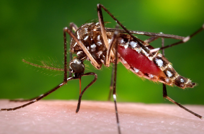 16735 Close Up Of A Mosquito Feeding On Blood Pv