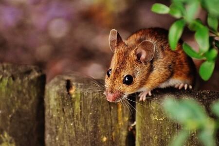Los gérmenes que viven dentro de los cuerpos de los ratones afectan a su capacidad para socializar y hacer amigos: ¿cómo lo hacen?