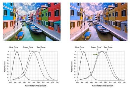 ae6dd3c289 Como podemos en las imágenes, la ceguera al color ocurre porque los conos  verdes y rojos se muestran receptivos a frecuencias tan parecidas que los  dos ...