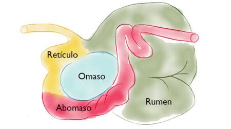 Esquema de los estómagos del rumiante