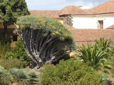 960px Drago Del Seminario De La Laguna O De Santo Domingo Isla De Tenerife Canarias Espana