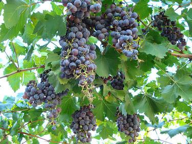 La monodieta detoxificante de cura de uvas: ahora es el momento