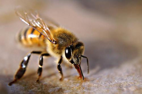 Las abejas que trabajan para producir solo un kg de miel