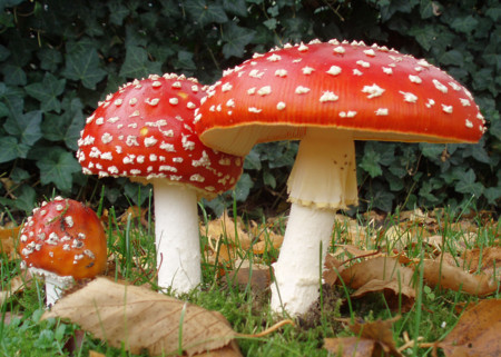 2006 10 25 Amanita Muscaria Crop