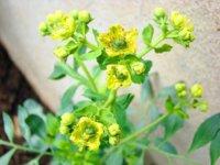 La ruda, una planta a la que se le achacan muchas propiedades medicinales