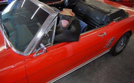 Simio al volante