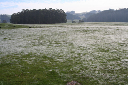 ¿Por qué llueven arañas (y telarañas) del cielo en Australia?