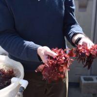 El próximo superalimento ecológico sabe a bacon. Pero se trata de algas rojas.