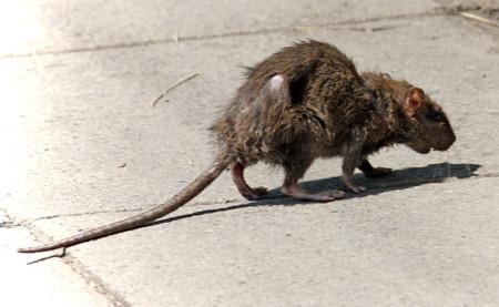 640px Street Rat