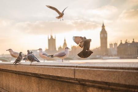 Los olores familiares es la forma en la que se guían las palomas mensajeras
