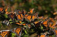 Contra los pronósticos, aumenta la presencia de la Mariposa Monarca en México