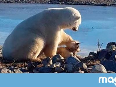 No, el oso polar que acaricia al perro no le está mostrando afecto. Sólo se lo quiere comer