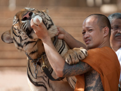 ¡No más selfies con un tigre! Ordenan la liberación de todos los felinos del Templo del Tigre en Tailandia