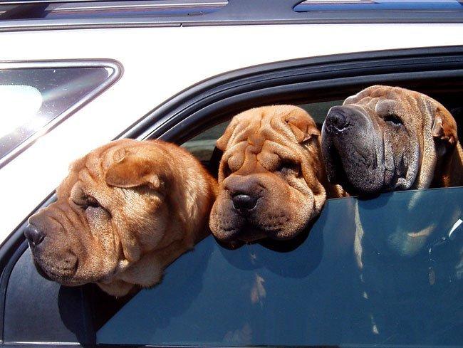 Perros con necesidad de botox