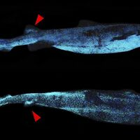 Se descubre este enorme tiburón bioluminiscente en las profundidades del océano frente a Nueva Zelanda