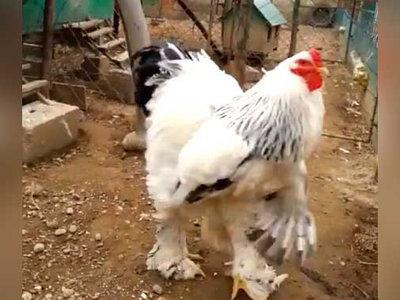 El gallo gigante que podría hacerte frente en una pelea es real y es kosovar