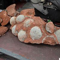 ¿Dónde está la mayor colección de huevos de dinosaurio del mundo?