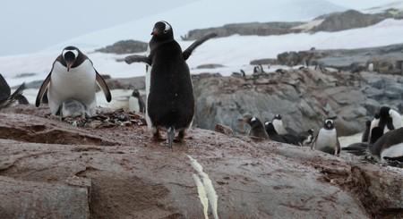 Así es como los excrementos de los pingüinos influyen negativamente en el medio ambiente