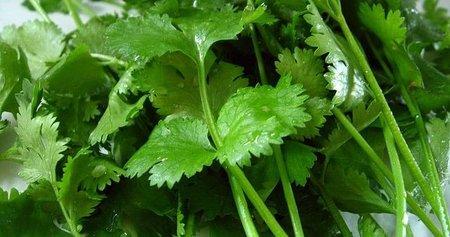 Foto de la planta cilantro