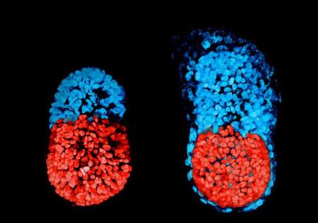 Éste es el primer embrión artificial de ratón con células madre