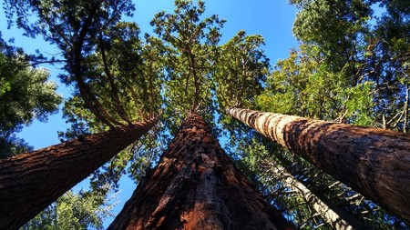 Giant Sequoia Grove Near Auburn 804575 1920